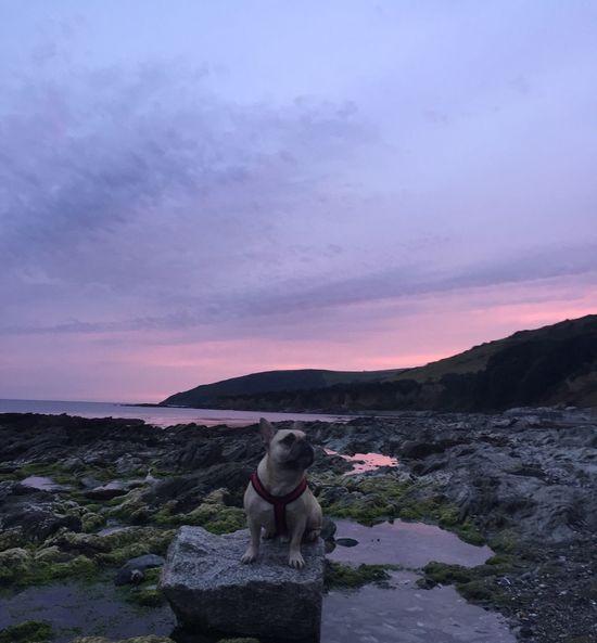 Literally no editing required Frenchbulldog Poser Cornwall