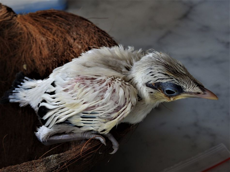 Animal Themes Balinesse Star Bird Bird In Captivity Close-up Endangered Species In Nest Starling Young Bird