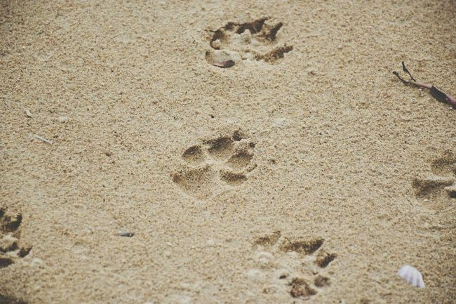 Dog footprints in the sand. Dog Footprints Foot Sand Beach Walk Outdoors Backgrounds Paw Mutts Nature Pet Pattern Animal Cute Beautiful Pothole Space Day Horizontal Canine Sea Relax Fresh Sunlight