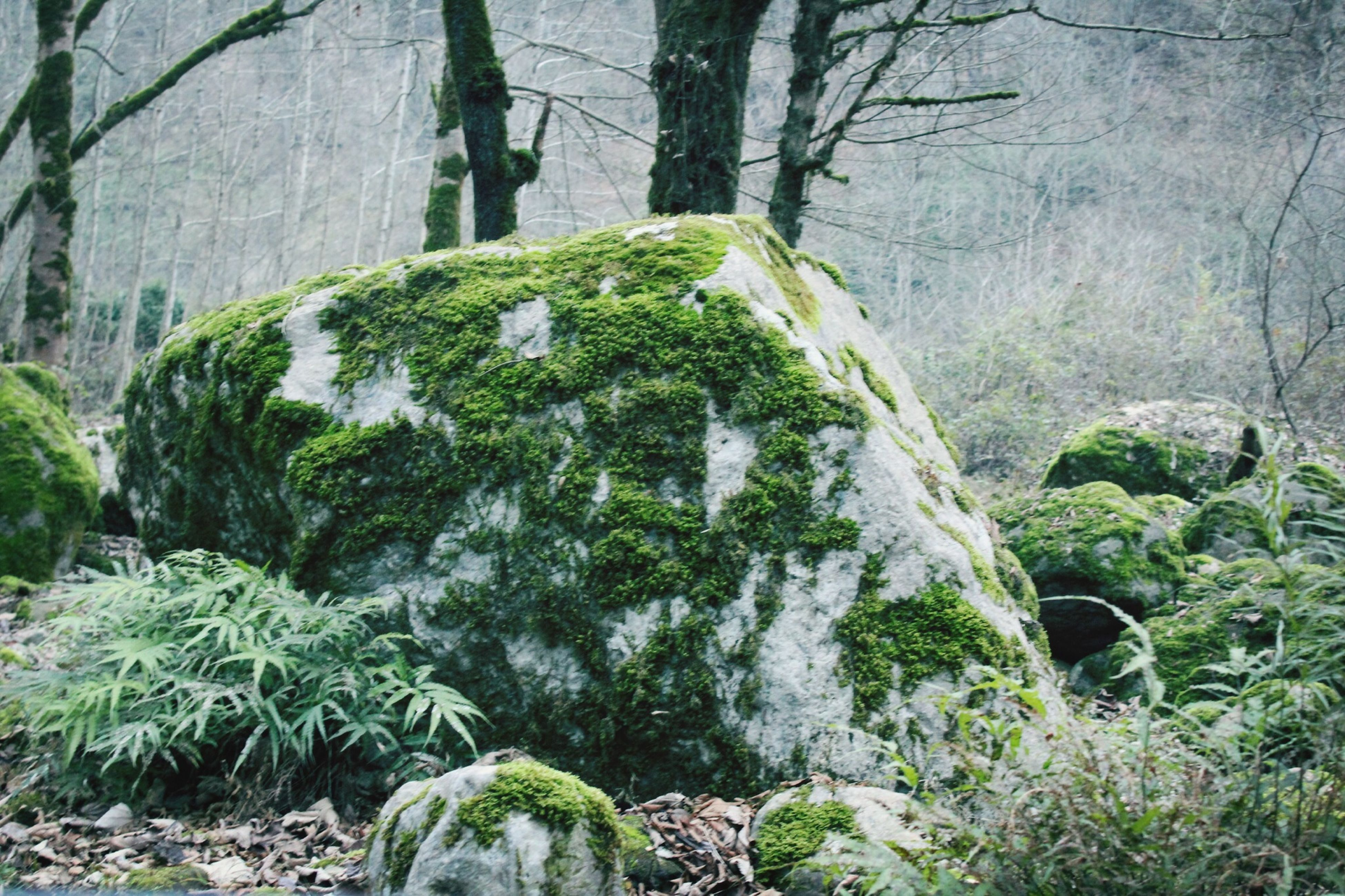 tree, growth, forest, tree trunk, nature, green color, tranquility, moss, plant, beauty in nature, tranquil scene, rock - object, growing, scenics, day, no people, outdoors, branch, woodland, leaf