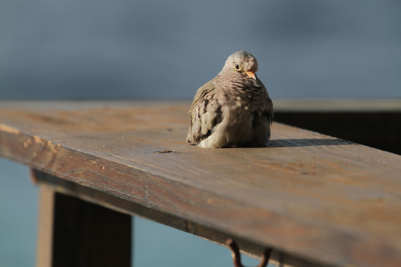 Animal Themes Animal Wildlife Animals In The Wild Bird Curacao Little Bird Little Fellow Nature No People One Animal Outdoors Resting Sitting Waiting Wooden Railing