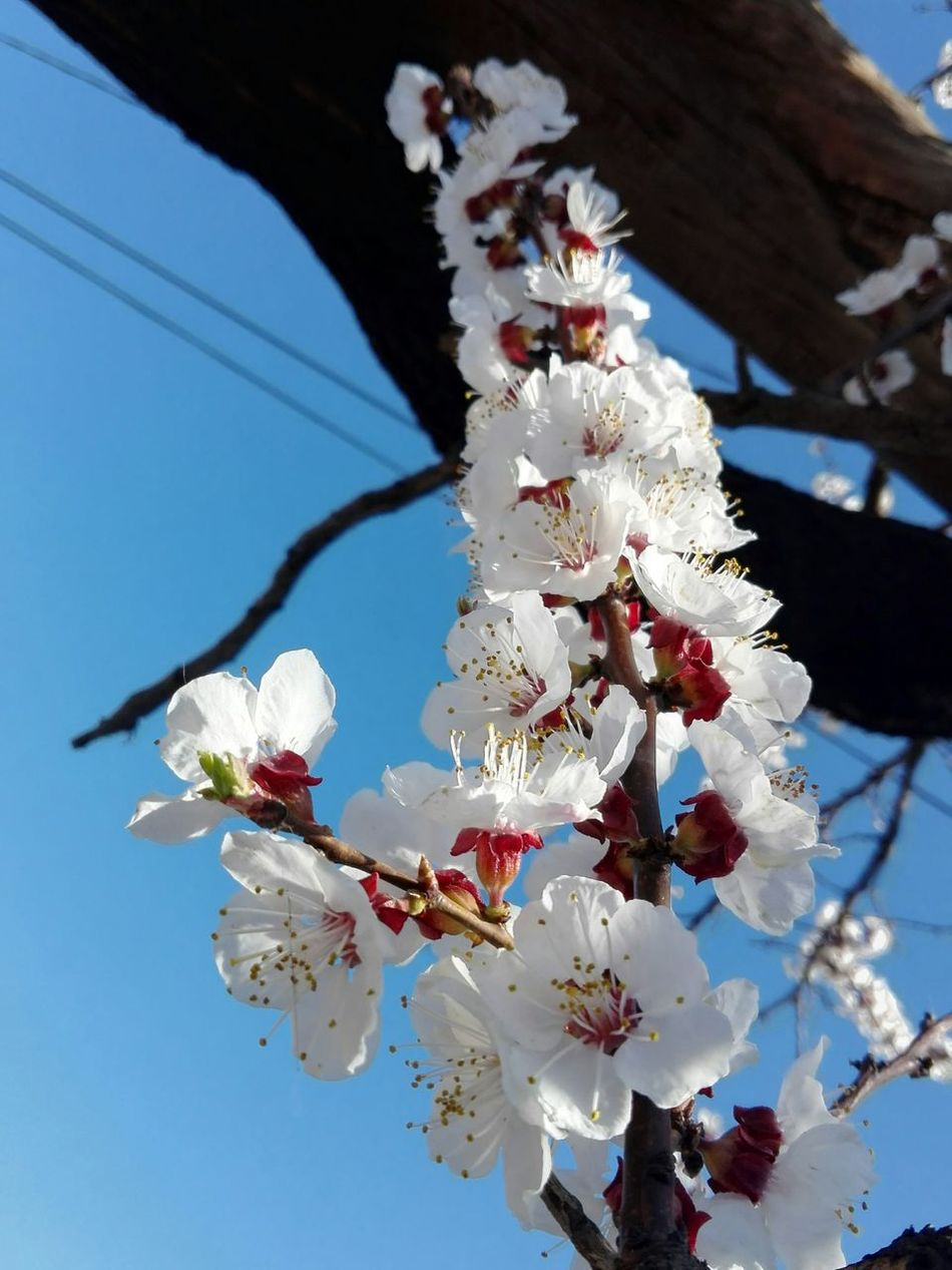 Nature Beauty In Nature Branch Springtime Outdoors Low Angle View No People Sky Close-up Apricot Flowers Wolfzuachis Showcase: March Veronica Ionita @WOLFZUACHiV Showcase: 2017 Eyeem Market Huaweiphotography Wolfzuachiv On Market Edited By @wolfzuachis Apricot Blossoms Apricot Branch Blossomed Spring ApricotBlossom EyeEmNewHere