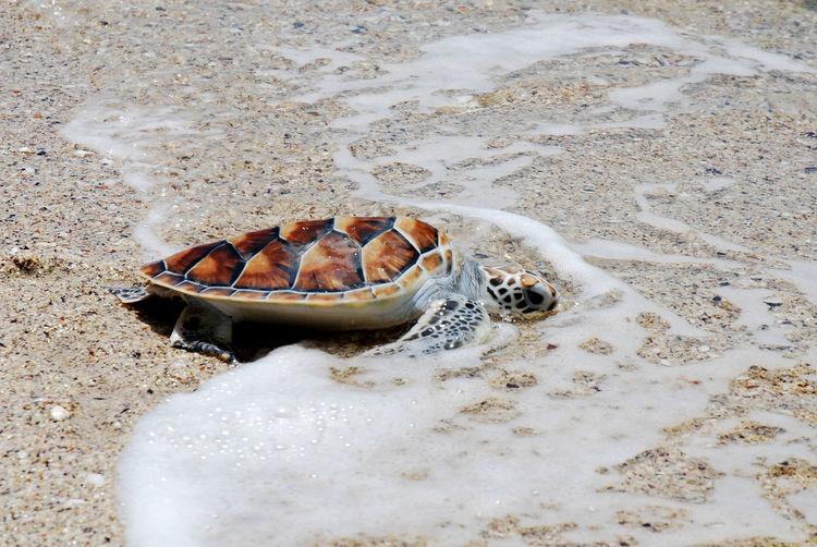 Turtle Babyturtle Sand Beach No People Nature Outdoors Water Sea
