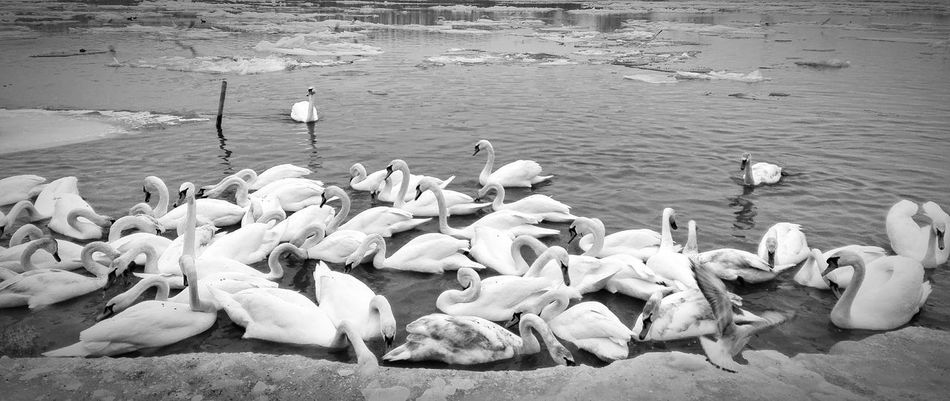 Nature Water Outdoors Beach Bird Sea Day Large Group Of Animals Real People Beauty In Nature Animal Themes Perching Smederevo Swan Swans On The Lake Light And Shadow Beauty In Nature Citycenter Black And White Photography Black & White Backgrounds Full Frame Animals In The Wild Large Group Of Animals No People