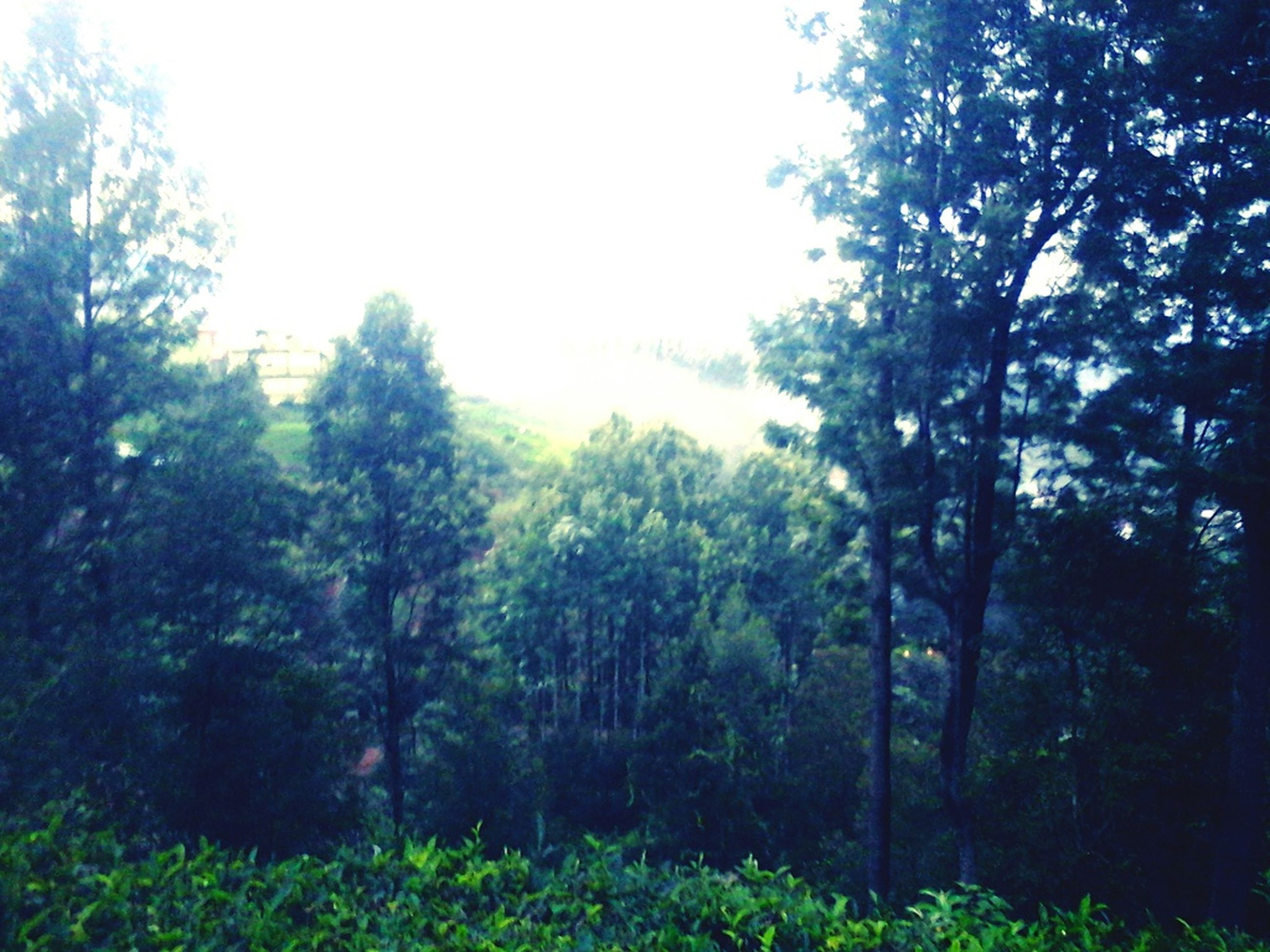 tree, growth, tranquility, tranquil scene, forest, clear sky, beauty in nature, nature, green color, branch, scenics, lush foliage, woodland, day, non-urban scene, outdoors, no people, tree trunk, sky, landscape