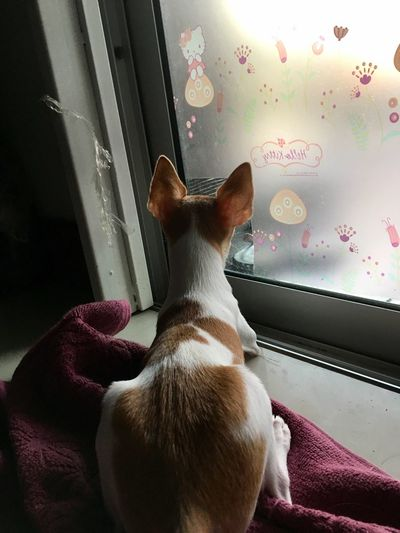 รอคอย Pets Animal Themes Window Domestic Animals Indoors  One Animal Mammal Looking Through Window Dog No People Home Interior Day Close-up