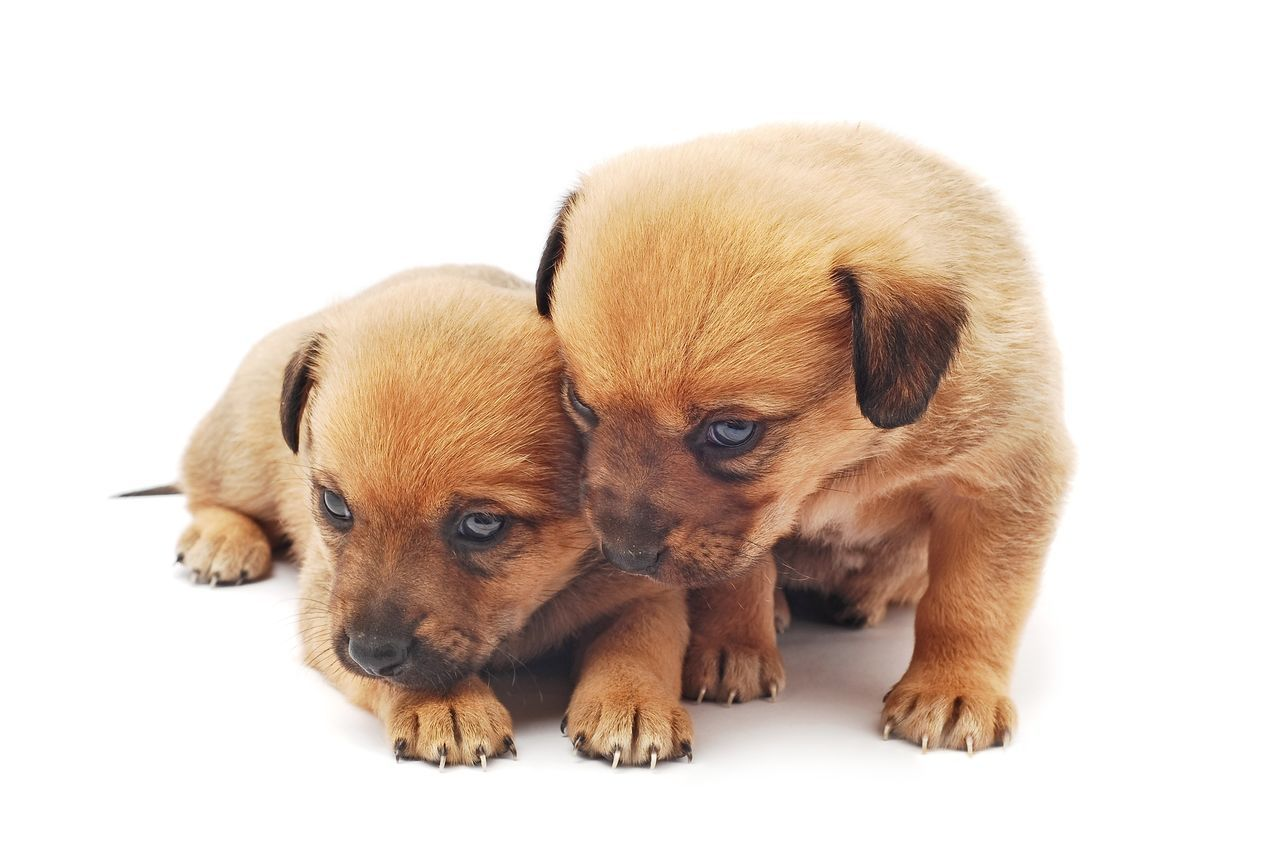 puppies Puppies Cute Animal Cute Animals Cute Pets Cute Puppy Puppy Love Pupies Baby Animal Baby Dogs Two Is Better Than One Two White Background Close-up Young Animal Little Adorable Brown