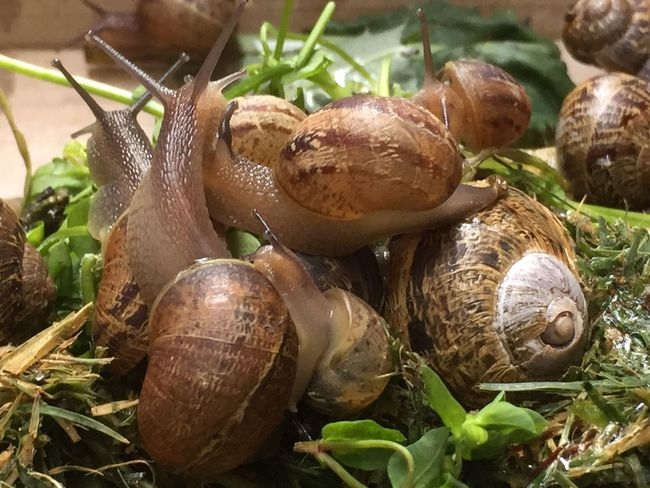 Snails Slimy Close-up Animal Themes Brown Shells Nature Gastropoda Mollusc Coiled Shell Invertebrate Beauty In Nature Slow Moving Slime Belly Foot Animals Stylommatophora Withdrawable Tentacles Garden Pest