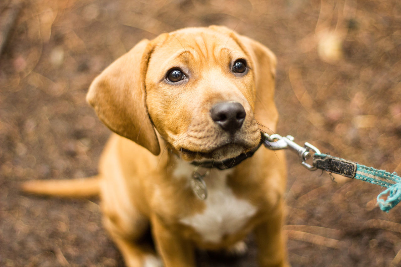 dog, one animal, pets, animal themes, domestic animals, mammal, stick - plant part, portrait, looking at camera, day, no people, outdoors, close-up, beagle, nature