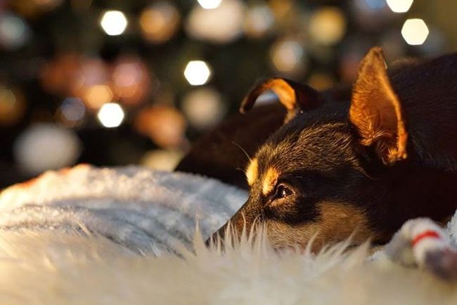 Dobermannpinscher Doglover Dogsofinstagram Cutedog Puppy Pet Rescuedog Zwergpinscher Pincher Minipin Chiuaua