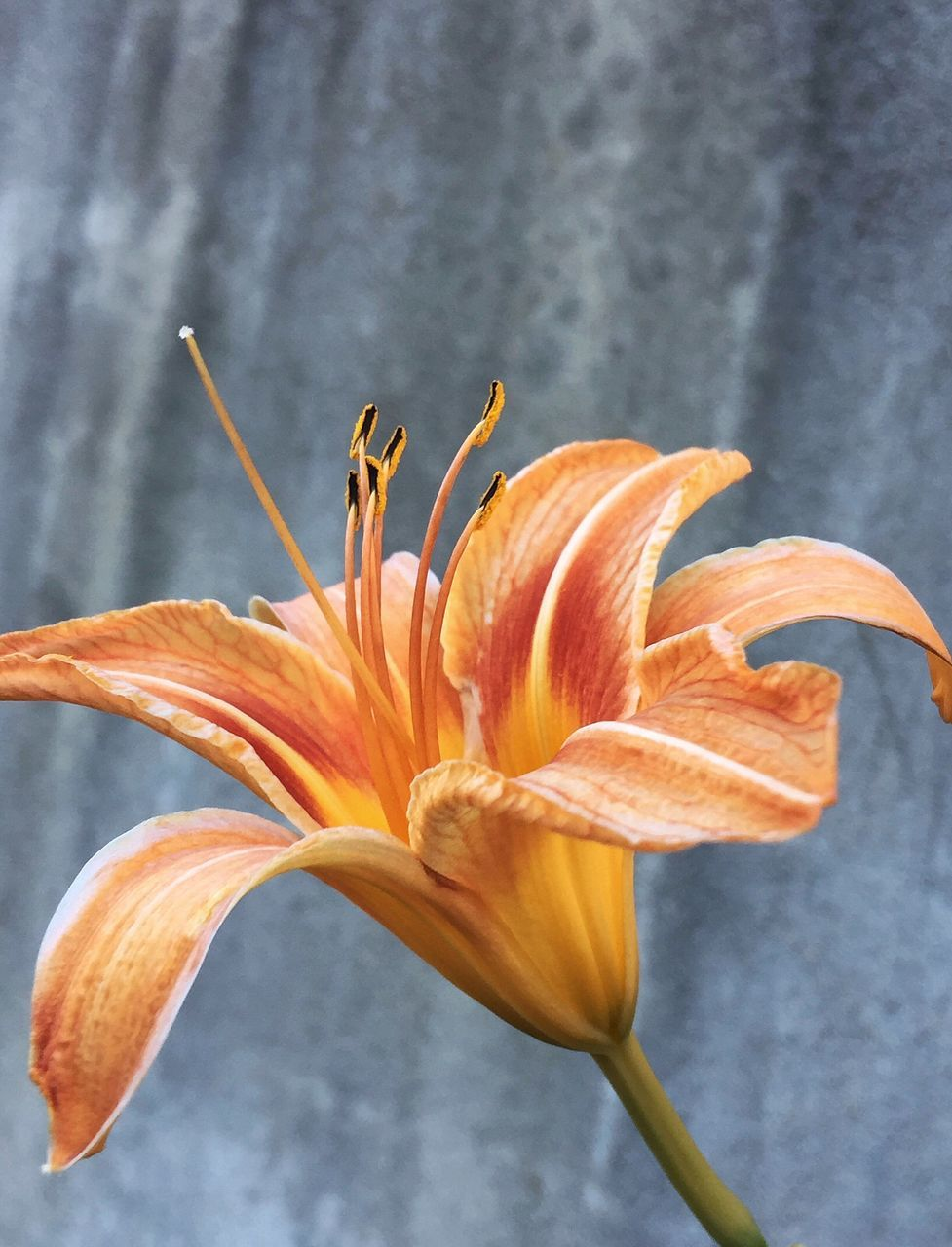 flower, petal, fragility, orange color, flower head, day lily, freshness, beauty in nature, nature, close-up, growth, plant, lily, no people, day, outdoors, blooming, water