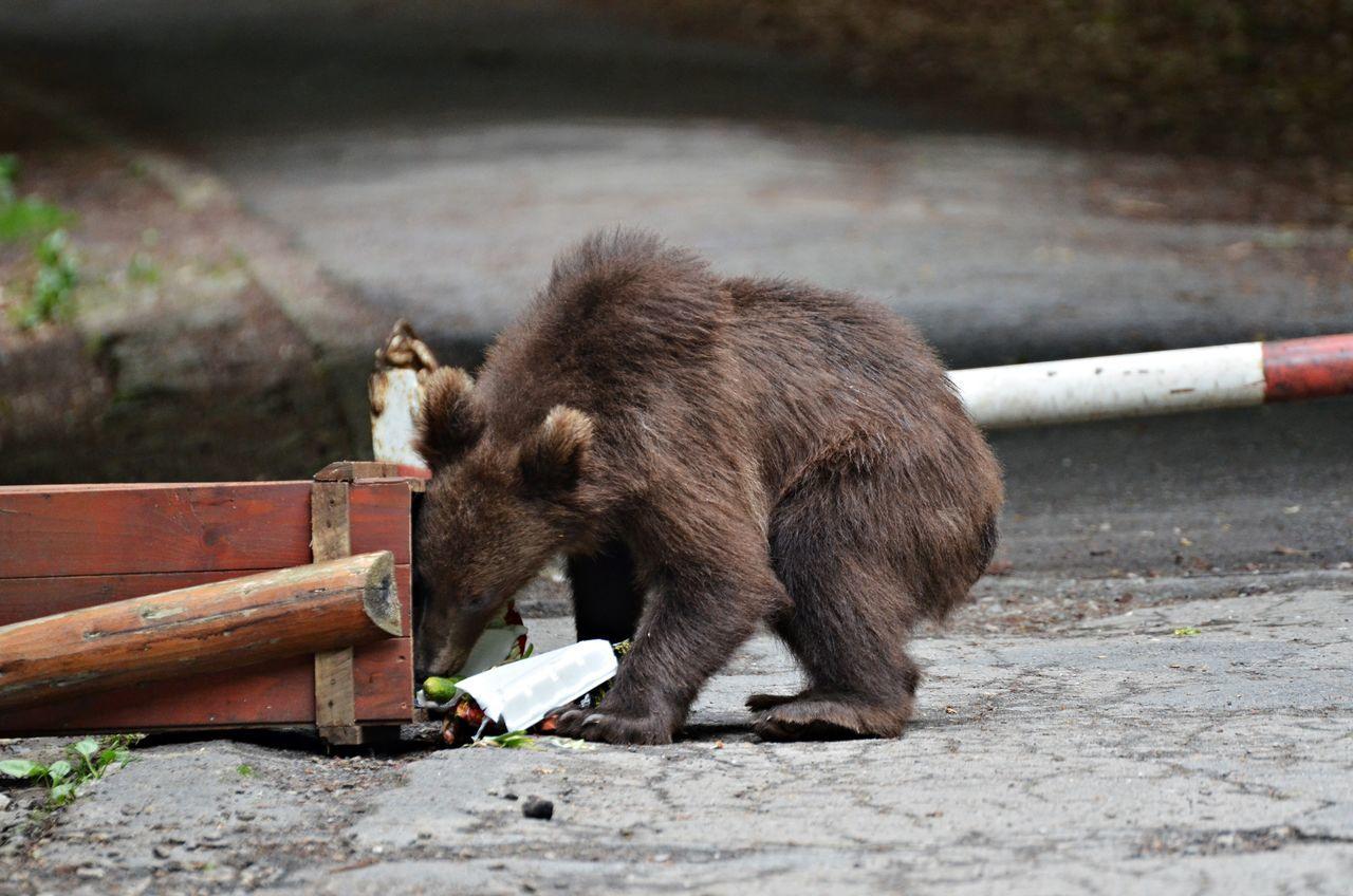 Bear In City