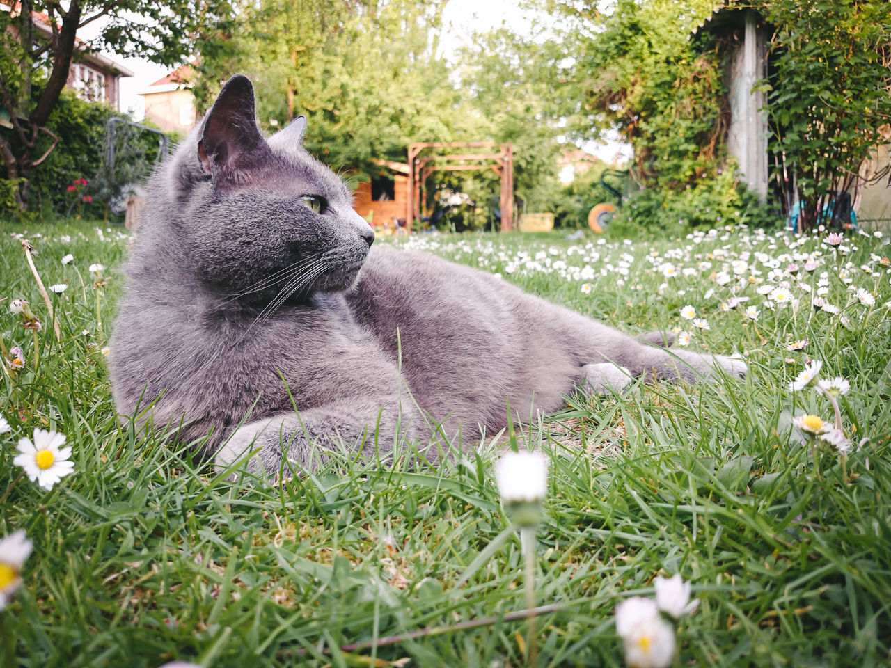 I am a Queen Animal Themes Comfortable Daisies Elegance Beauty Domestic Animals Garden Grass Grey Cat Home Mammal Nature No People One Animal Outdoors Pets Spring Pets Corner Furry Whiskers Low Angle View Relaxation Time Side Portrait Copy Space Green Eye Feline Portraits