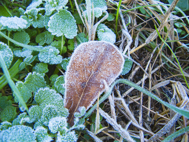 Beauty In Nature Botany Brown Close-up Cold Temperature Day Dry Fragility Frost Green Green Color Growth Leaf Leaf Vein Natural Pattern Nature Outdoors Plant Scenics Season  Selective Focus Stem Tranquility Weather Winter