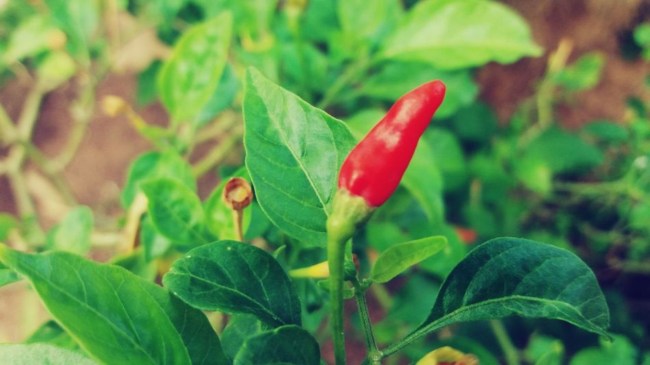 Just a pepper Nature Green Color Leaf Plant Red Close-up Beauty In Nature Outdoors Day Pepper Nopeople Illuminated Fruit Pimenta Folha Verde Colorful J5 Camera