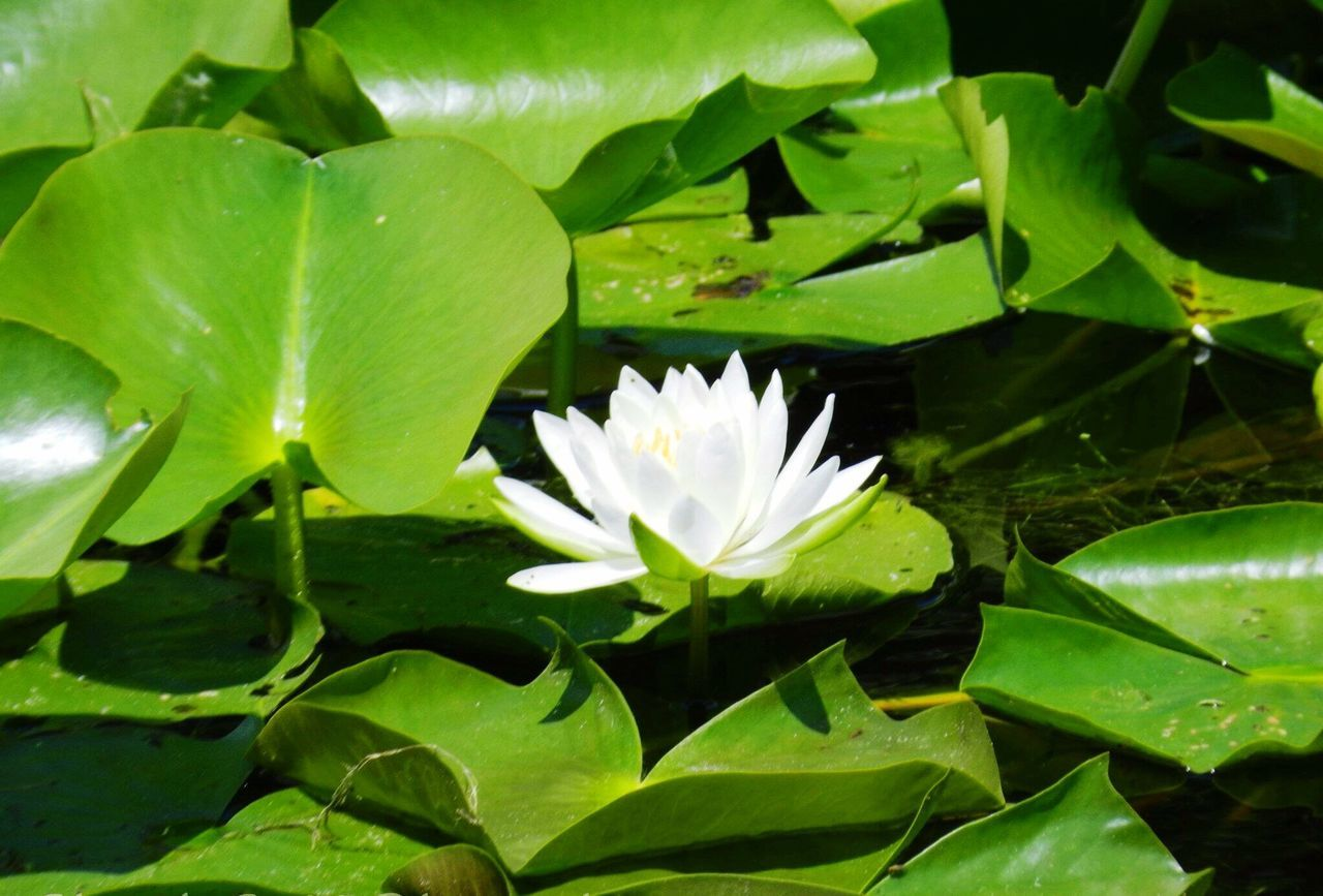 Lillypads Lillypad Lilly Pad Water Lilies. Lilly Pads. Leaf Leafs Green White Water Marche Flower Nature EyeEm Nature Lover Nature_collection Nature Photography Naturelovers Beautiful Nature Blue River Blue River, Wisconsin Wisconsin Wisconsin Life Green Color White Flower Lilly Flower Collection