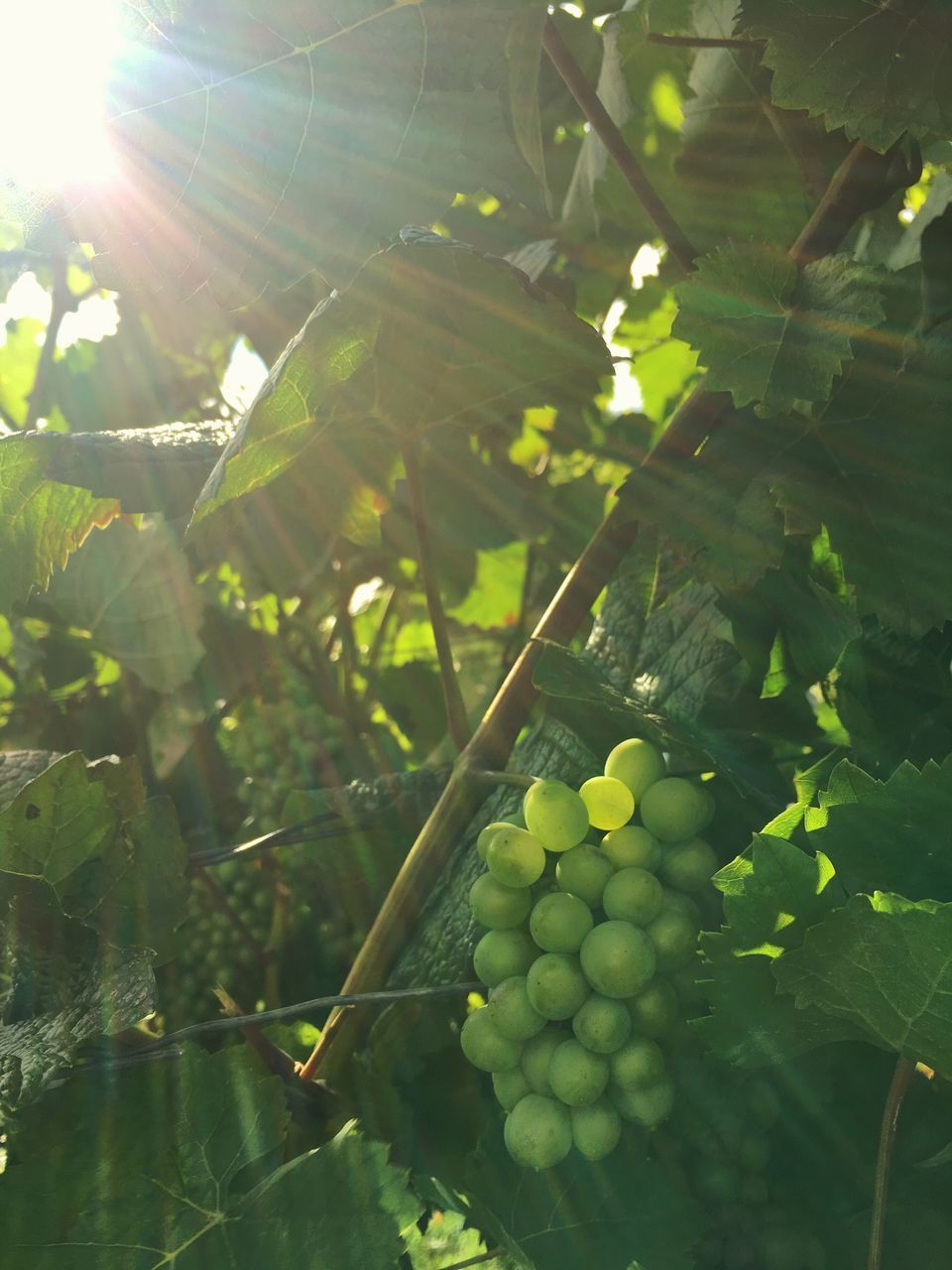 green color, growth, fruit, leaf, food and drink, day, sunlight, outdoors, no people, grape, tree, nature, freshness, branch, healthy eating, food, beauty in nature, close-up
