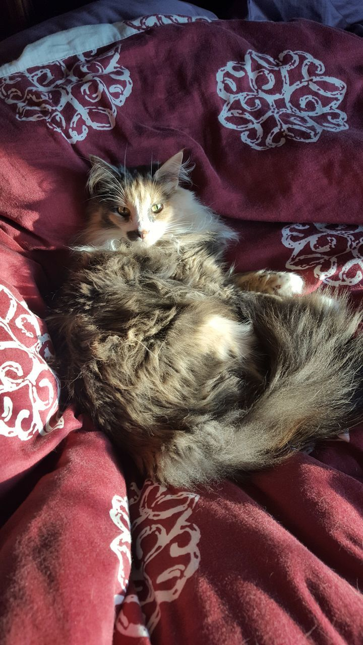 pets, domestic animals, one animal, animal themes, mammal, domestic cat, bed, animal hair, relaxation, feline, resting, sleeping, indoors, whisker, lying down, no people, comfortable, dog, red, persian cat, close-up, pillow, day, bedroom