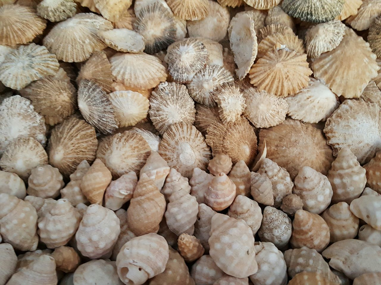 Full Frame Backgrounds Large Group Of Objects Fuerteventura Shells Shells Beach Shell Collection Shell Beach Abundance Abundance Of Shells Many Shells Large Group Of Shells