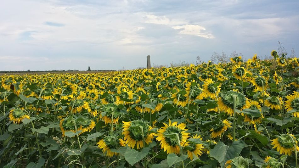 Abundance Agriculture Beauty In Nature Blooming Day Field Flower Flower Head Freshness Growth Nature No People Relaxing Moments Sunflower Yellow Bartal Emlékmű György A Napsugár