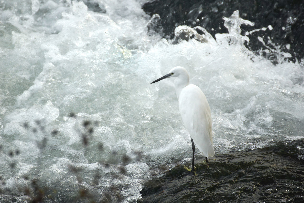 Hiding among waves Animal Portrait Animals In The Wild Bird Bird Photography Cataract Current Dignity Dynamic Egret Froth Little Egret Patience Po River Rapids River River PO Rock Spray Standing Tumultuous Waiting Watching Waves Wild Wildlife