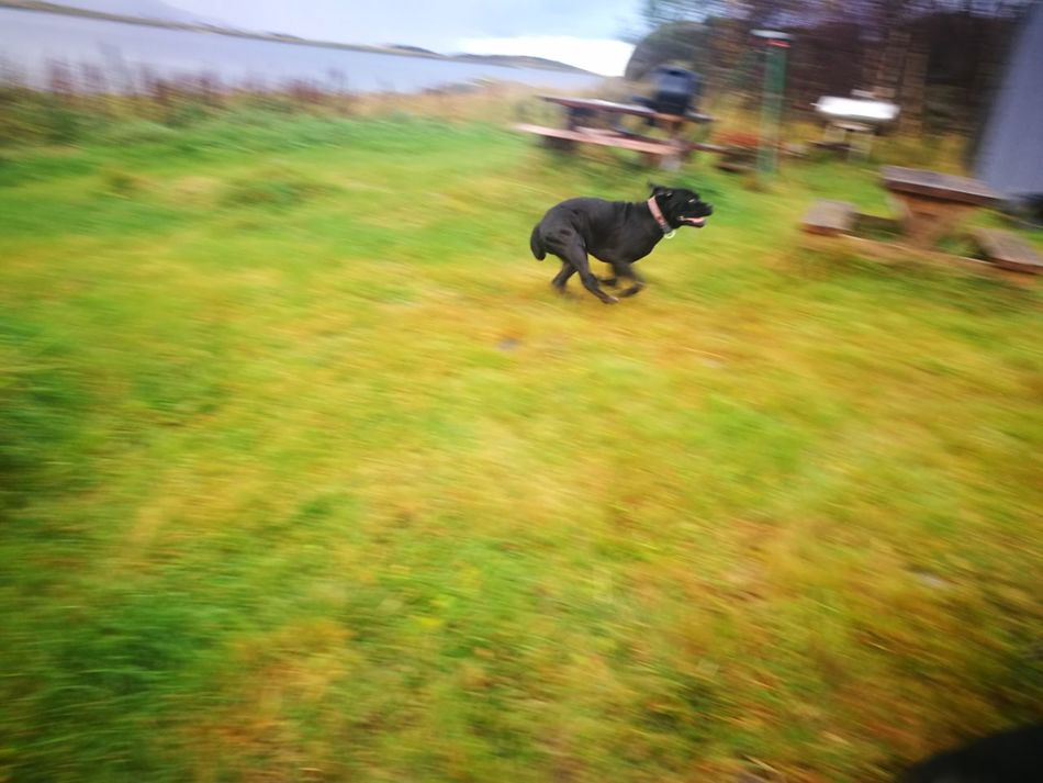 Running Grass Outdoors Green Color Cane Corso Full Speed Running Around Playing Outdoors