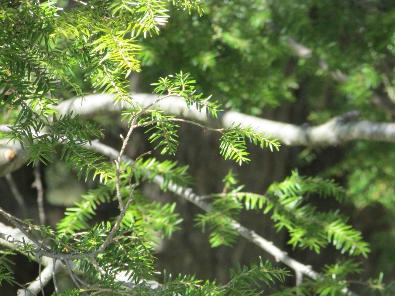 Green Sapin Tree Nature Plant Forest Day Outside Near