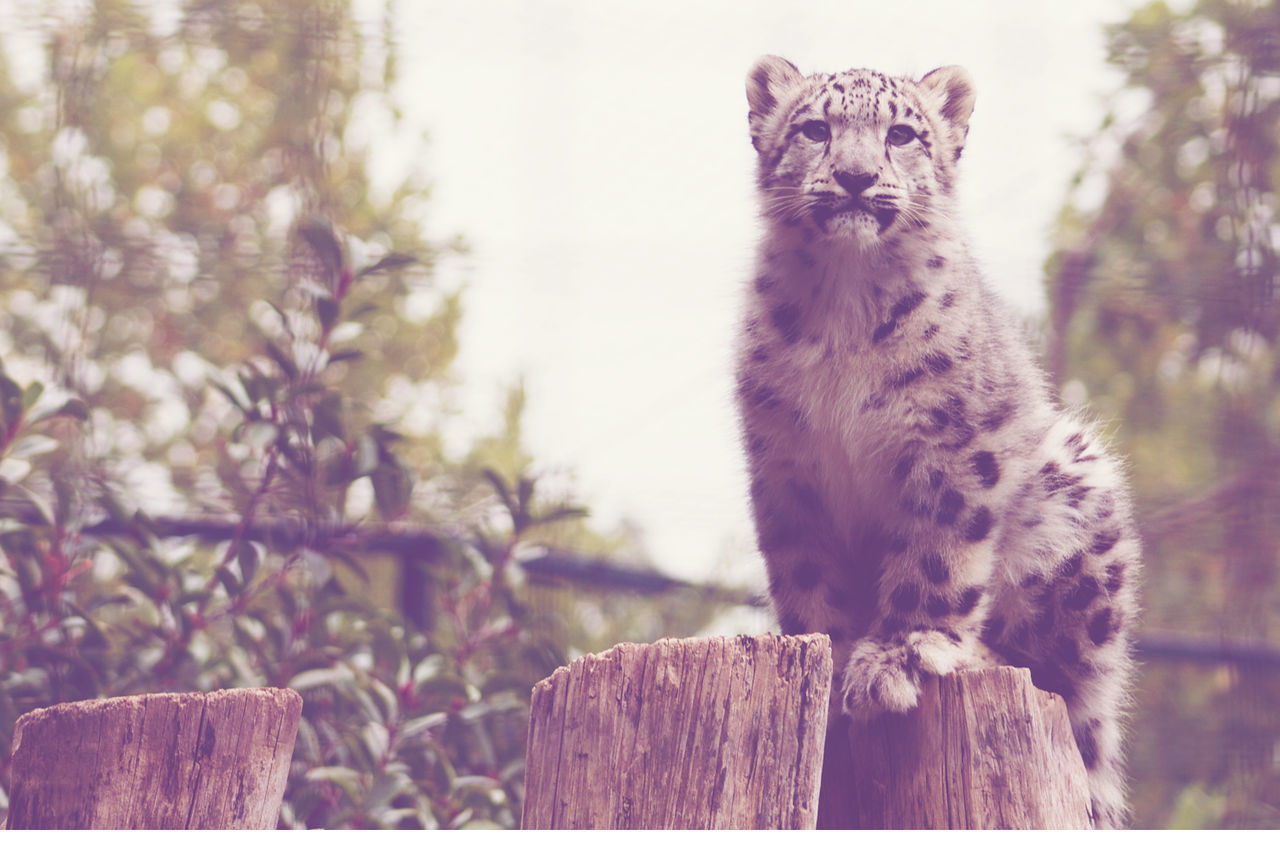 Animal Animal Themes Baby Cat Feline Nature One Animal Wildlife Leopard Zoo Zoo Animals  Beauty In Nature No People Animals In Captivity Chat