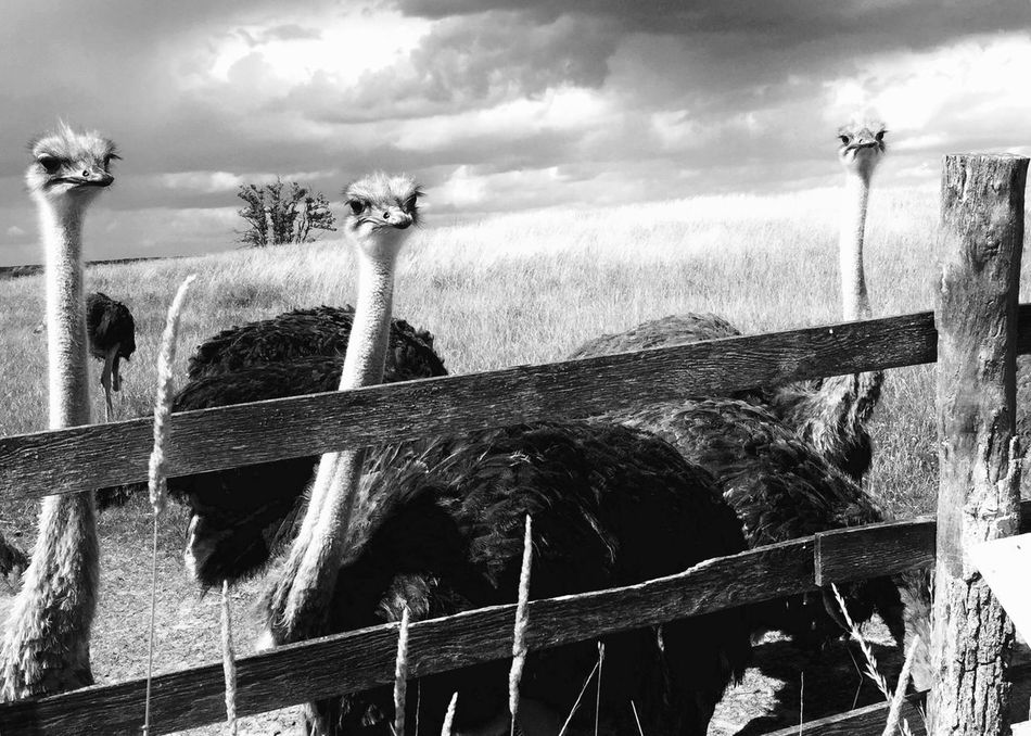 Ostrich Brandenburg Germany Uckermark Animal EyeEm Best Shots EyeEm Gallery From Where I Stand Blackandwhite Photography Blackandwhite No People Sky Moments Cloud - Sky