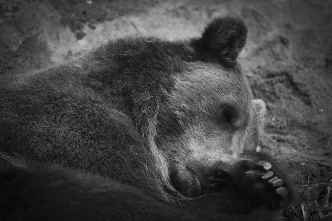 Bear Sleepy MnZoo Followme