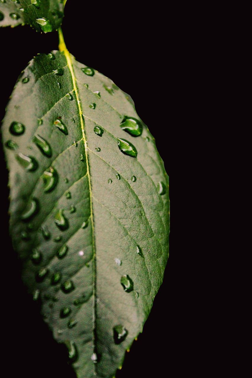 leaf, black background, drop, close-up, green color, nature, no people, change, wet, autumn, water, raindrop, beauty in nature, night, studio shot, fragility, plant, outdoors, growth, maple, freshness