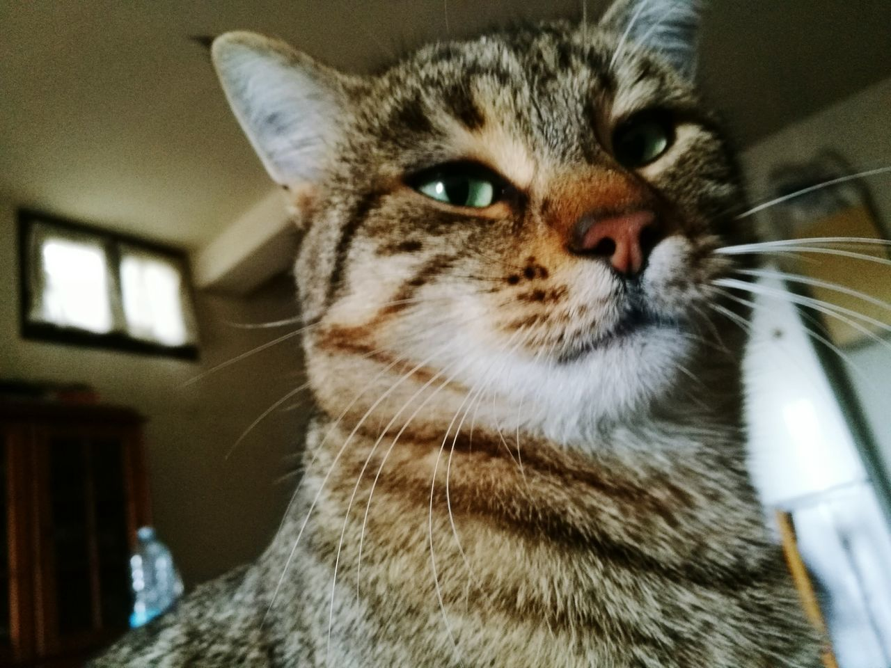 one animal, domestic cat, animal themes, pets, indoors, domestic animals, close-up, mammal, whisker, looking at camera, portrait, focus on foreground, no people, feline, day