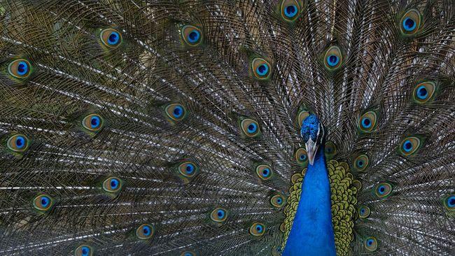 Peacock Beauty Bird Beautiful Colors Peacock Blue Peacock Bird Photography Birds Of EyeEm  Birds_collection Blue Wave Showcase April