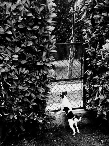 Enjoying Life Dog❤ Dogstyle Littledog Searching For Love  Foundfaces Looking To The Other Side In The Garden Blackandwhitephotography Blackandwhite