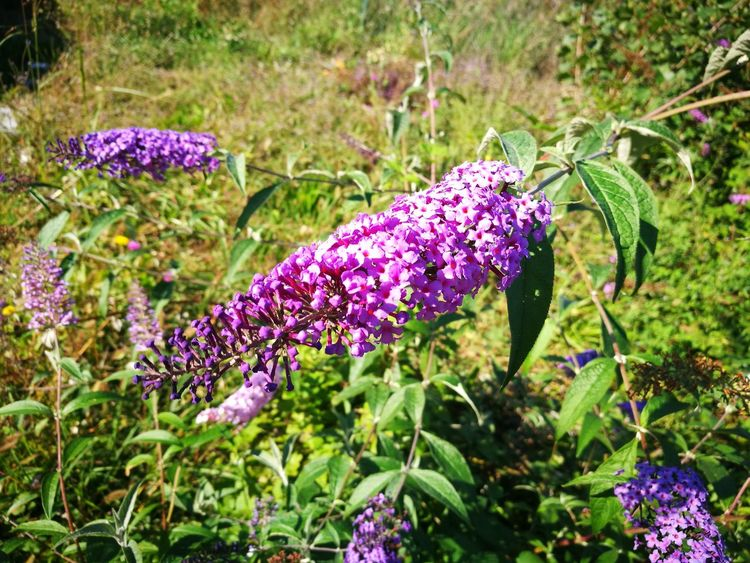 Purple Flower Plant Nature Beauty In Nature Outdoors No People Green Color