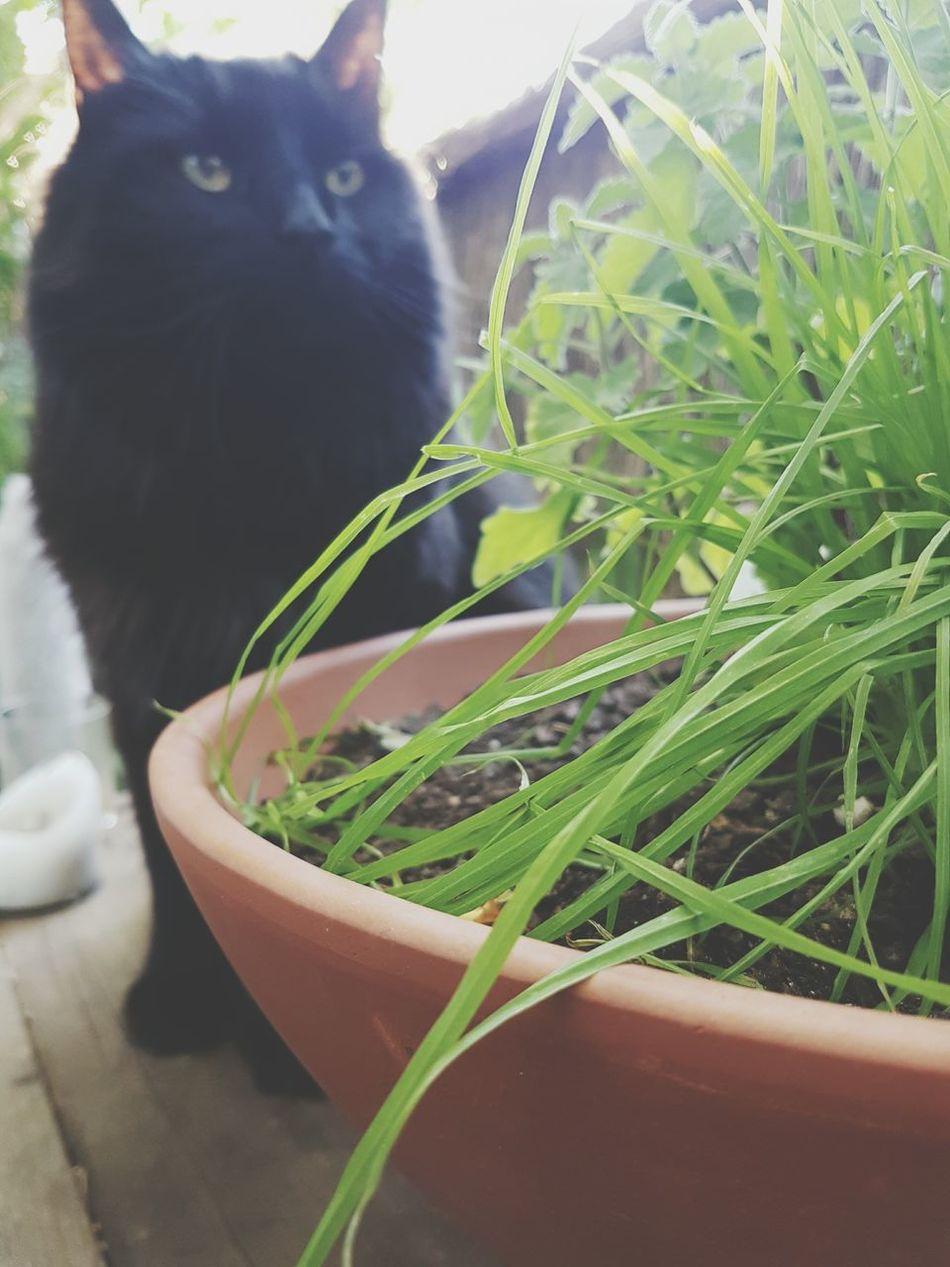 Neko Cat Black Cat Pet Grass Grass Catnip Christmas Present