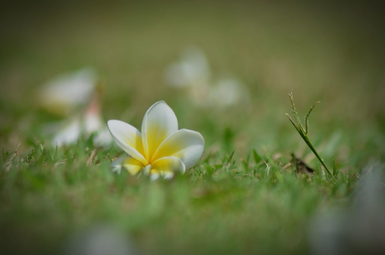 flower, petal, nature, growth, selective focus, beauty in nature, white color, fragility, flower head, plant, freshness, blooming, no people, close-up, outdoors, grass, day, frangipani