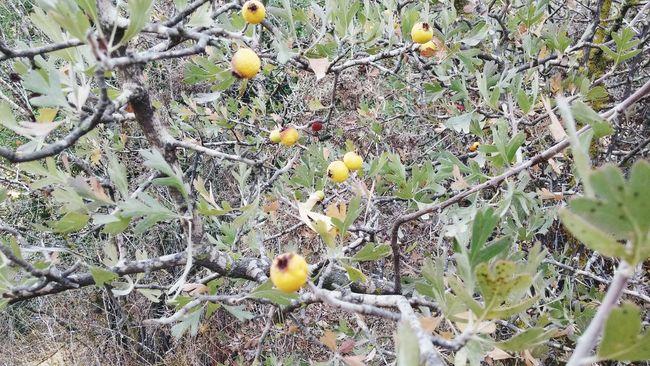 Fruit Tree Hawthorn