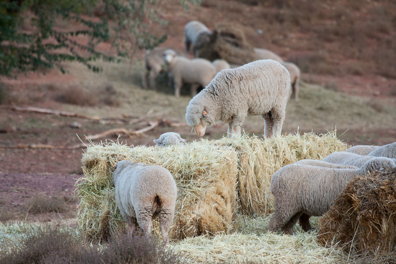 Sheep and hay Mammal Animal Themes Domestic Animals Sheep Flock Of Sheep Livestock Hay Bale Of Hay Hay Bale Eating Sheep Farm Sheep Ranch