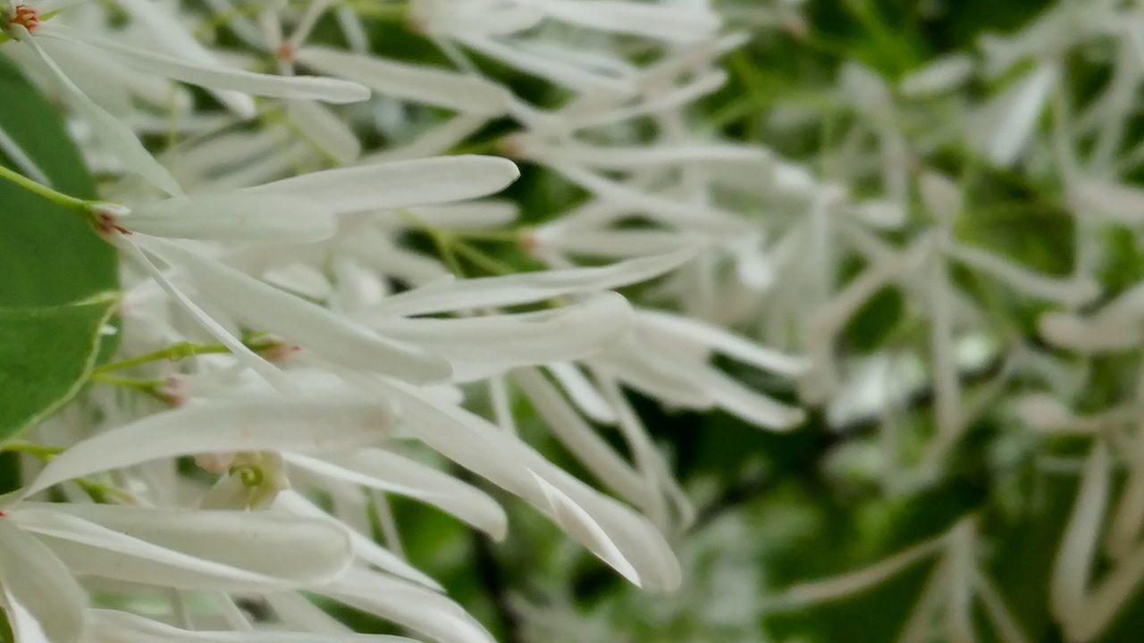 Fringe Flower White Flower Nature Close-up Plant Green Color No People Growth Outdoors Beauty In Nature Leaf Day Tree Freshness