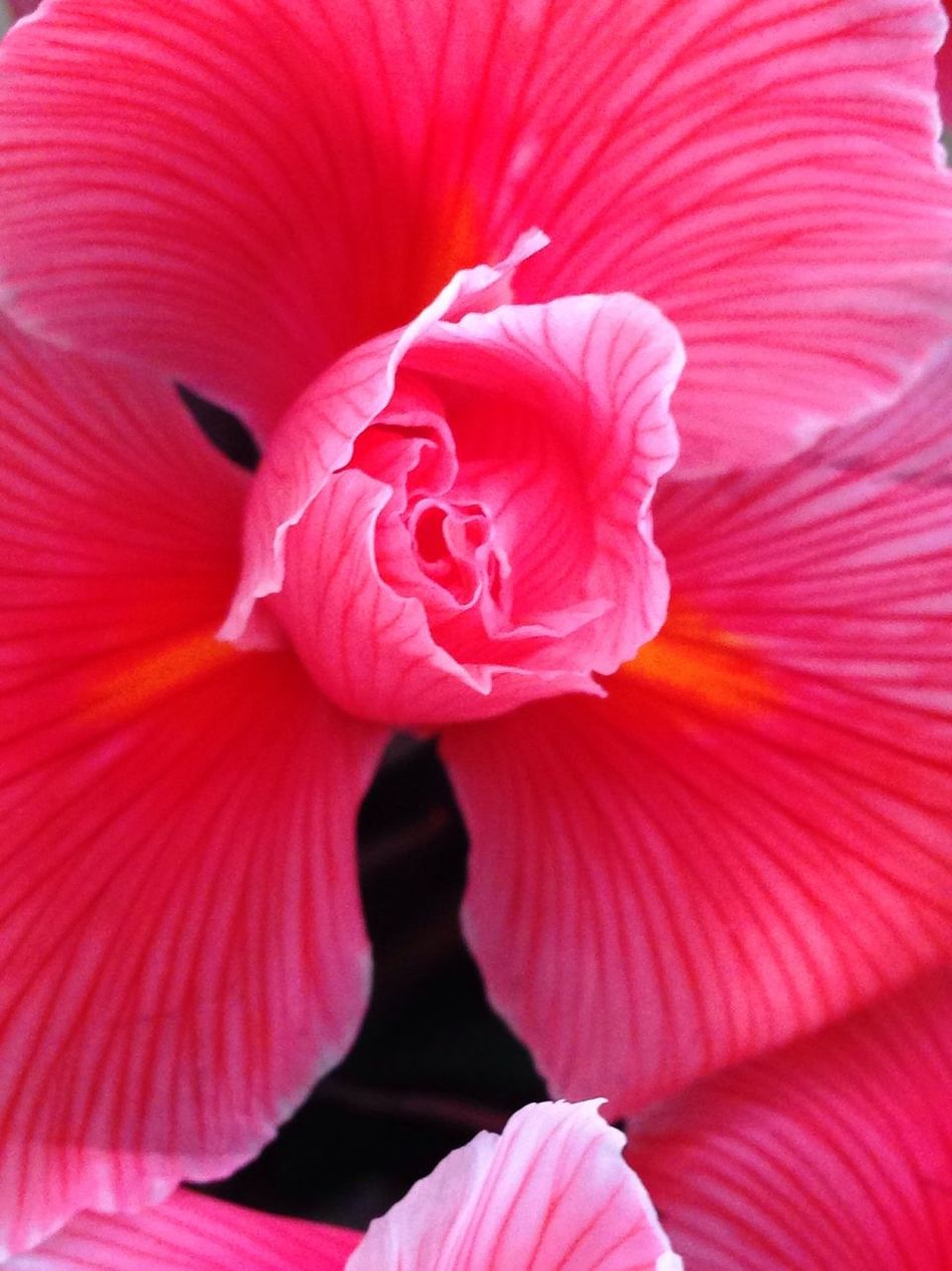 Iris Fiori Rosa Corallo Colori Flowers