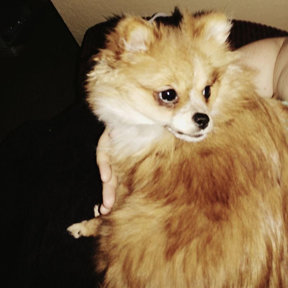 Februaryphotochallenge February2015 Puppy Love ❤ Morningcuddles Mommasgirl  Sweetlove Pomeranian Happymoments