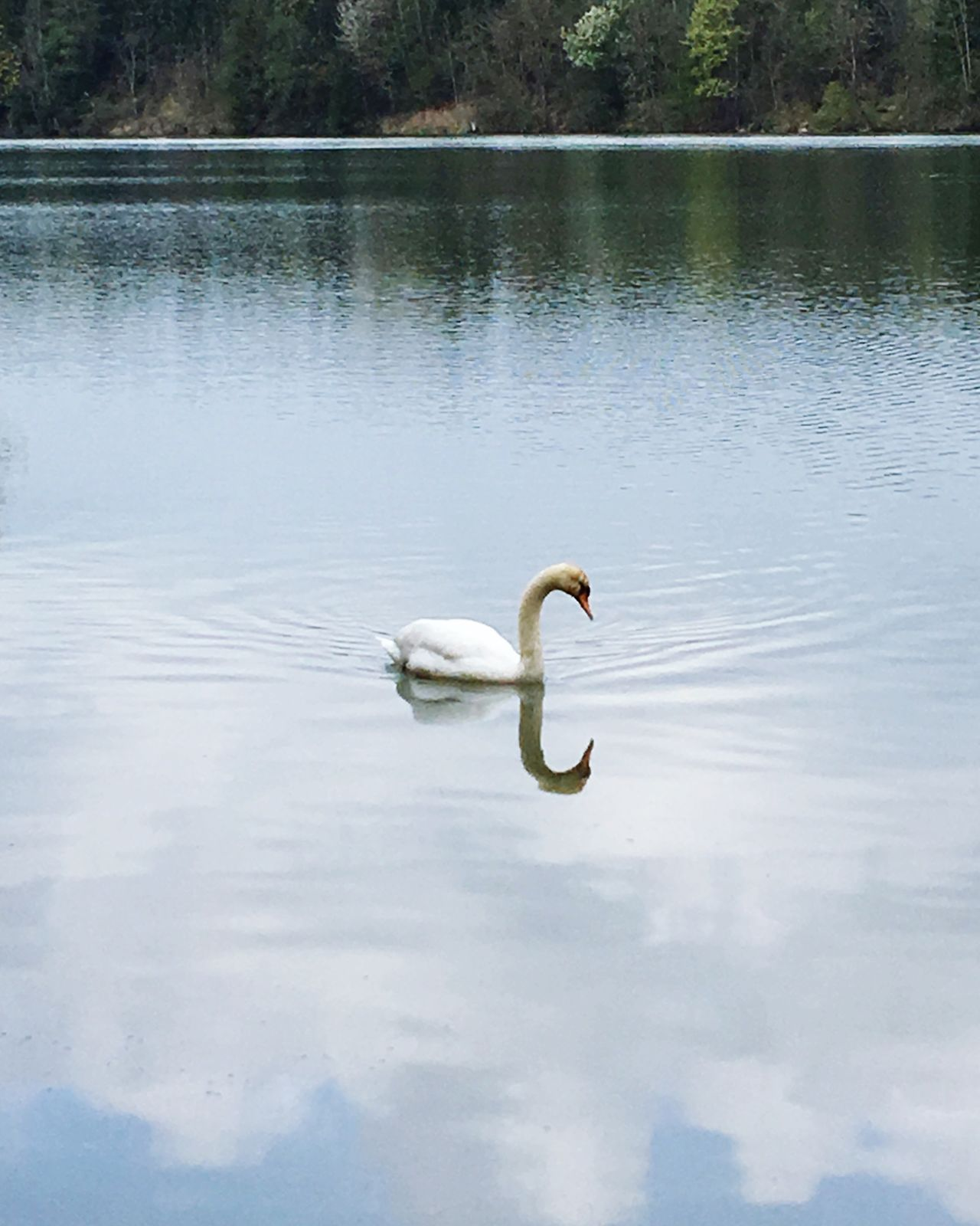 Animals In The Wild Swan Lake One Animal Animal Themes Bird Water Reflection Nature Animal Wildlife No People Day Water Bird Swan Lake Swan Cold Temperature Bavaria Sky Beauty In Nature Reflection Outdoors Swimming Beauty In Nature