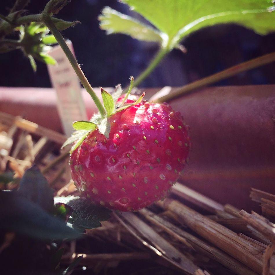 Die letzte Erdbeere. Strawberry Erdbeere Autumn Summer Berry Herbst Spätsommer  Balcony Red Healthy Freshness Fruit Growth Plant Growing