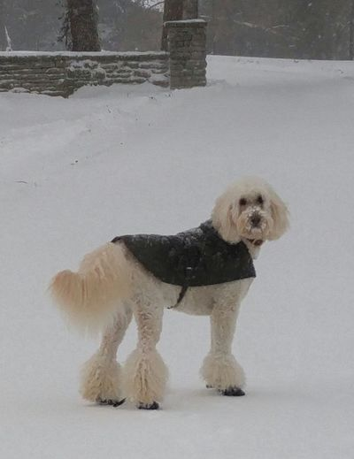 Snowdog Blizzard 2016 Cold Winter ❄⛄ Goldendoodle Barbour barn Jacket Boots On  Fluffy Dog Beautiful ♥ Happy Dog Getty+EyeEm Collection Elegant Dogpose Modelingdog Goldendoodlesofinstagram Doginsnow Animalphotography Snowinkentucky Snow Nose Thinksheishuman VougedogAll Dressed Up Play With The Animals In Snow Capture The Moment I Love Dogs👌