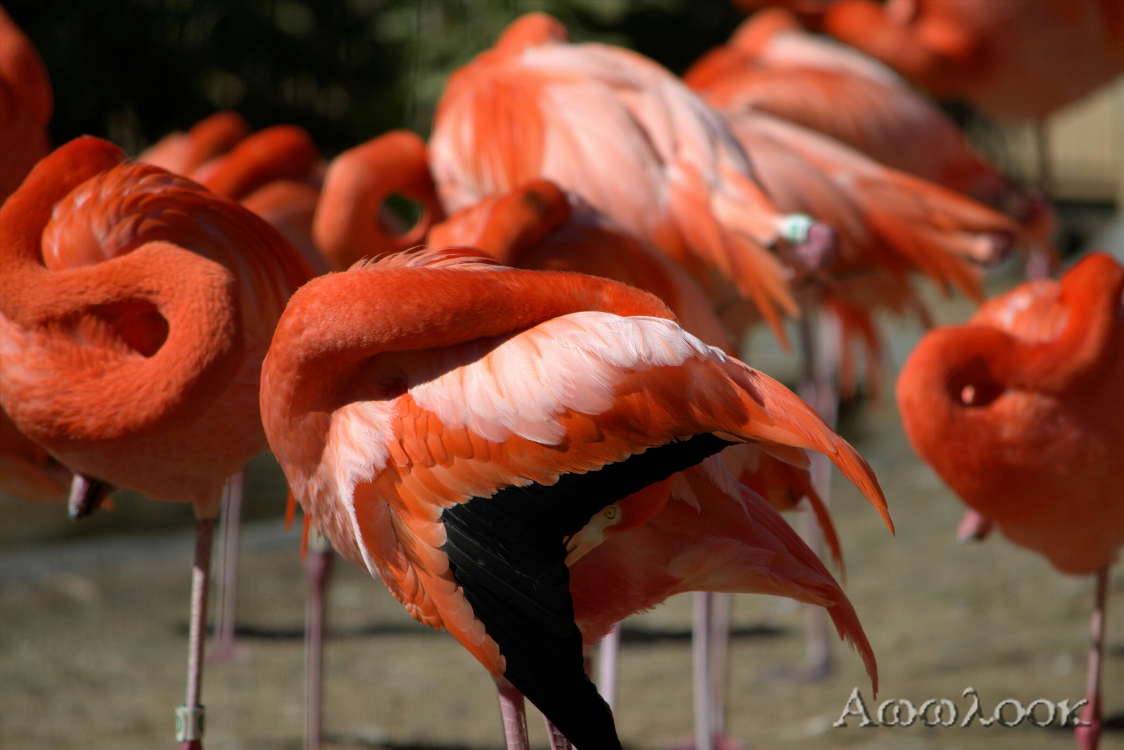 animal themes, focus on foreground, bird, flamingo, close-up, animals in the wild, wildlife, orange color, day, outdoors, red, beak, nature, selective focus, medium group of animals, no people, side view, two animals