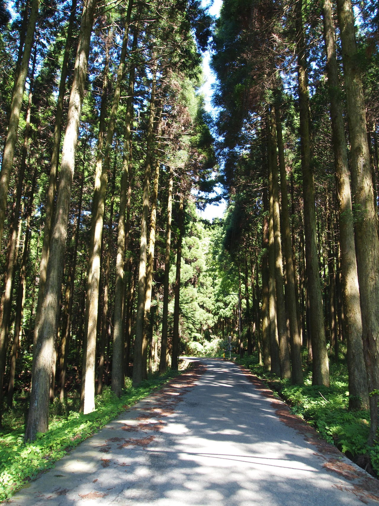 Aso Japa Beauty In Nature Forest Growth Japanese Cedar Nature No People Road The Way Forward Tranquility Tree Tree Trunk
