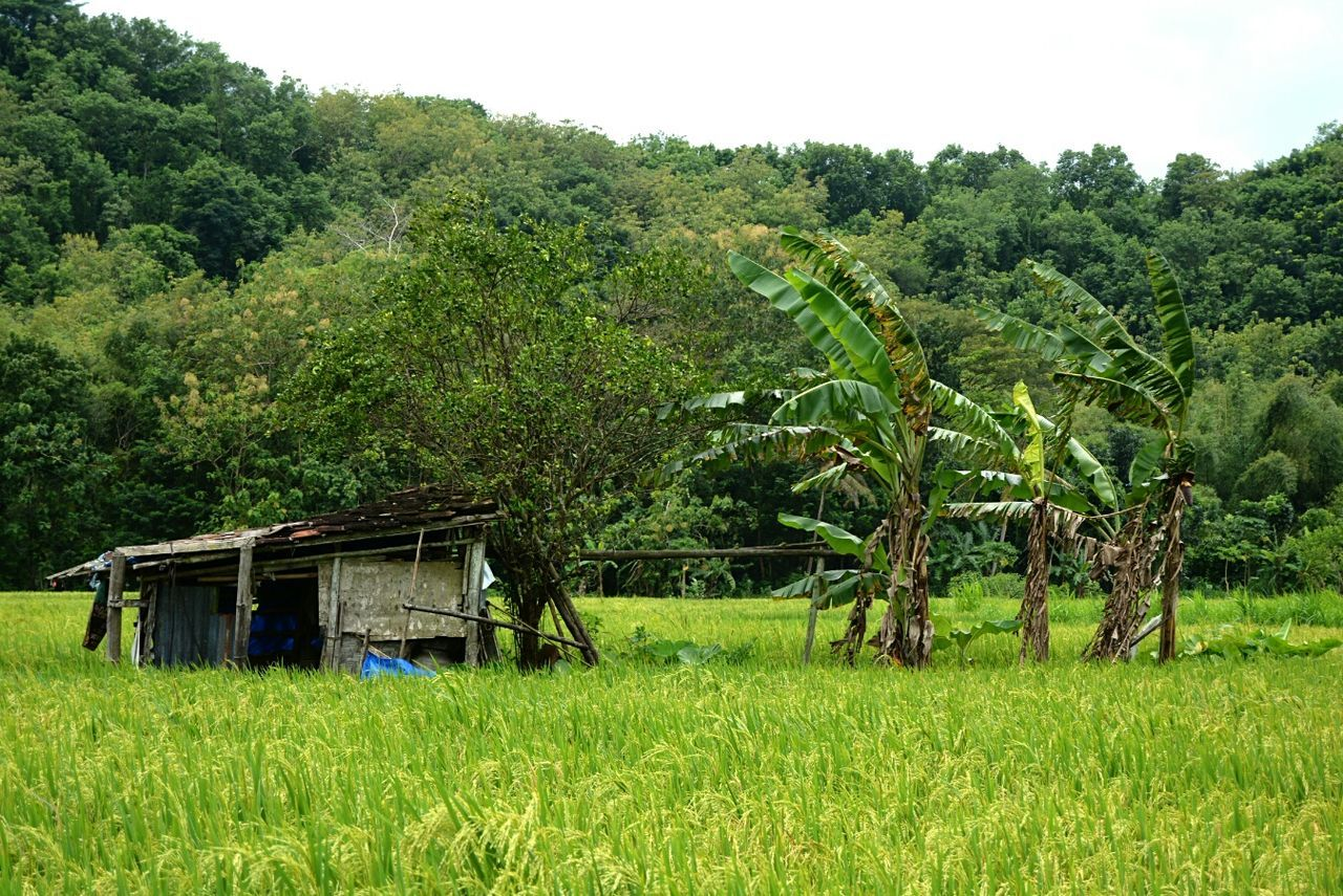 An old local farmer's shelter on paddyfarm near tomb of kings at imogiri, bantul, d.i. yogyakarta Tree Green Color Growth Nature Farm No People Agriculture Field Scenics Outdoors Beauty In Nature Rural Scene Rural Exploration Rurex Backpacker Beauty In Nature My Photography Wanderlust Wanderer Neglected Neglected Beauty EyeEmNewHere Miles Away