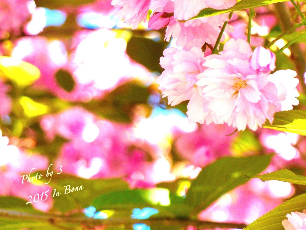Coral By Motorola Bonn Sakura~ Saku Sakura