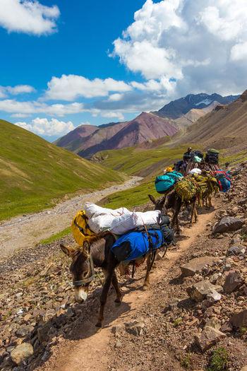 Donkeys Hiking Kyrgyzstan Pamir Mountains Path Trekking Animals Domestic Animals Mountain Pack Animal Pamir